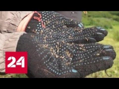 Машины буксуют в комарах: юг России атаковали полчища насекомых - Россия 24