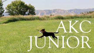 Apollo   AKC Junior Hunt Test   Third Pass
