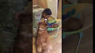 「困ったな…犬が嫉妬して赤ちゃんにキスができない!」(動画)