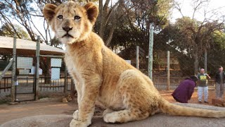 cute lion cubs and fighting wildfires