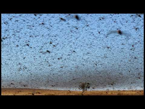 Red Sea Countries Braced for Massive Plague of Locusts