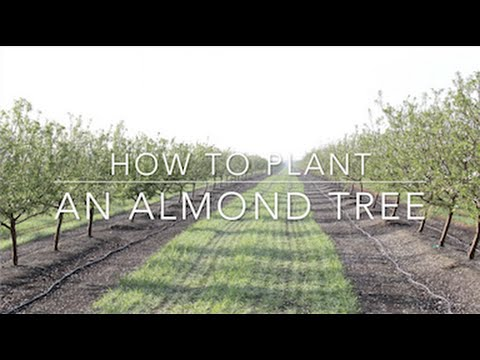 Duarte Nursery: How to Plant an Almond Tree