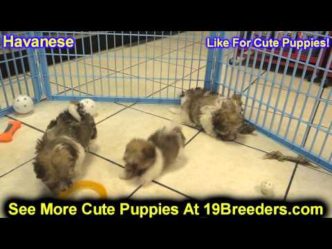 Havanese, Puppies, Dogs, For Sale, In New York, New York, NY, 19Breeders, Brookhaven, Oyster Bay