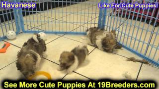 Havanese, Puppies, For, Sale, In, New York, City, Ny, Albany, State, Up