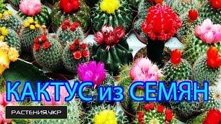 Как вырастить кактус из семян ? / уход за кактусами