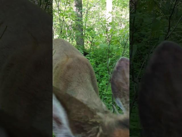 Deer licks turkey hunter's face and decoy