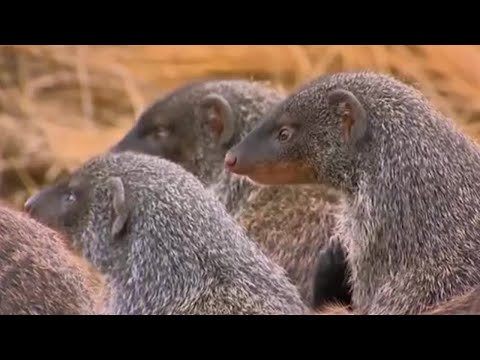 One Mongoose born every minute - Banded brothers (The mongoose mob) - BBC
