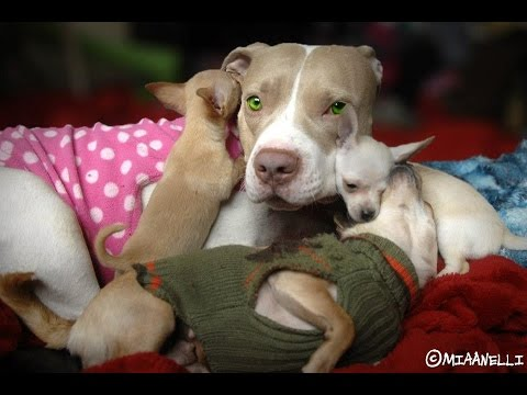 Rescue Puppies give their opinion on BSL and pit bulls