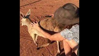 Kangaroo Loves Cuddles || ViralHog