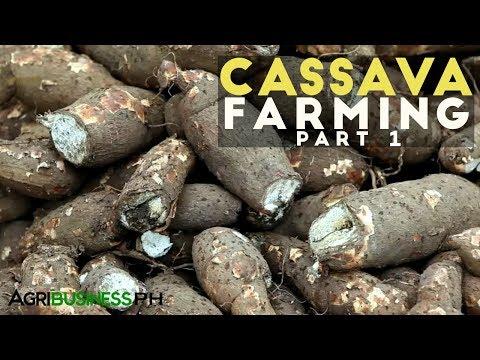 Cassava Farming Part 1 : Cassava Industry in the Philippines | Agribusiness Philippines