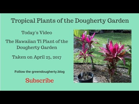 Tropical Plants of the Dougherty Garden - Hawaiian Ti Plants - April 25, 2018
