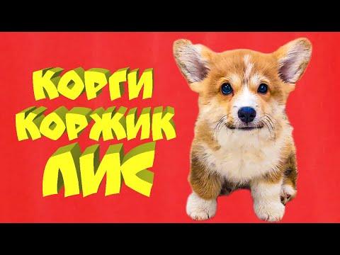 Я НЕ ВОЛК!! Я - ЛИС!! (Корги Коржик) Говорящая собака