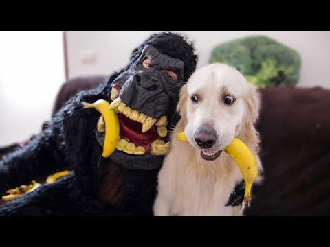 Dog Steals Bananas From Gorilla