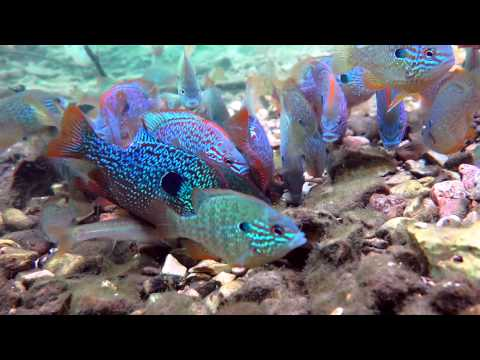 Longear Sunfish 2014