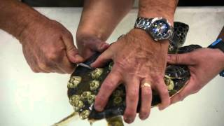 Ripley's Green Sea Turtle Rehab and Release thumbnail
