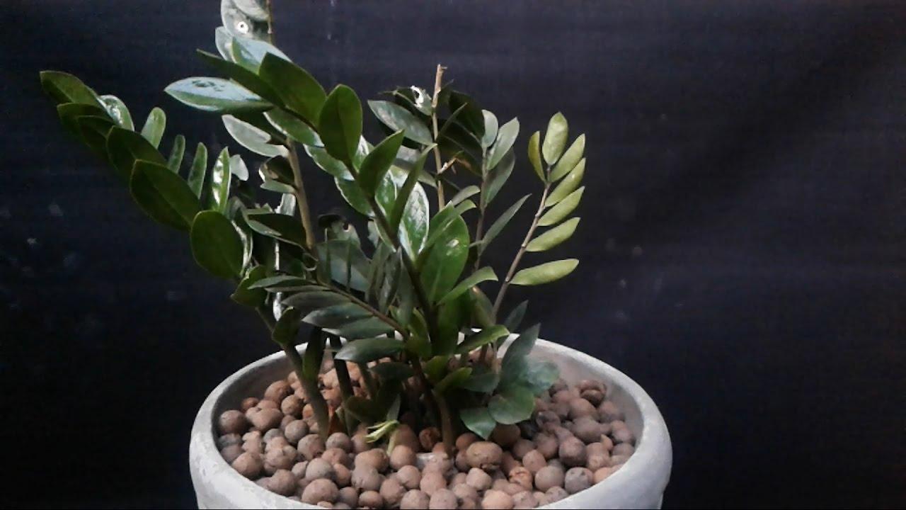 Zamioculcas aprenda a cuidar youtube for Planta ornamental zamia