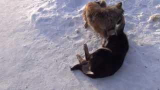 Агрессия у собак. Борьба псов. Коротконогий пес крут. Aggression in dogs. Fighting dogs. cool.