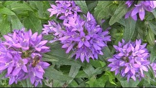 Campanula Glomerata - Glockenblume, Bellflower