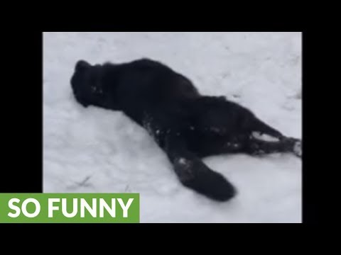 Snow-loving dog slides down hill on her side