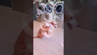 Doing the laundry. #Ibizan Hound