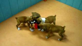 Boxer, Puppies, For, Sale, In, San Jose, California, Ca, Ontario, Santa Rosa, Rancho Cucamonga