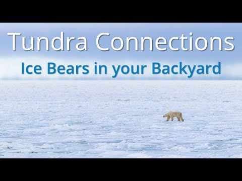 Ice Bears In Your Backyard