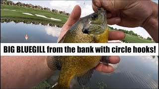 Catching Bluegill from the bank with light wire circle hooks!