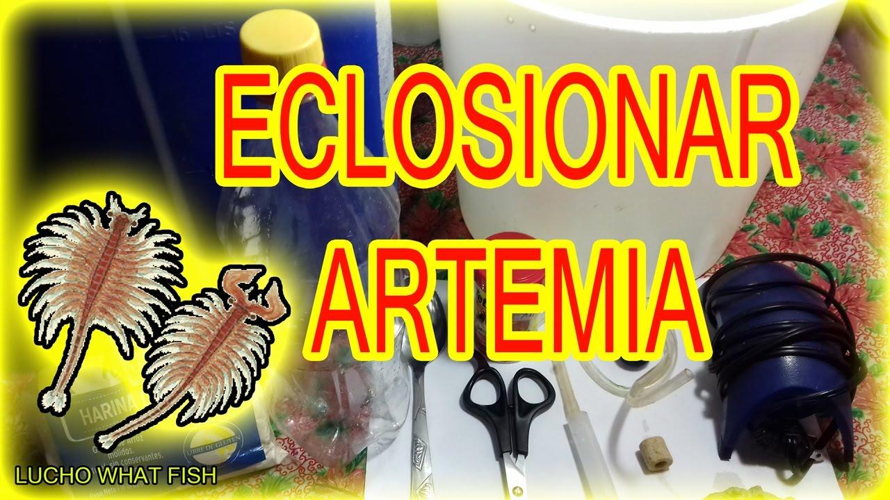 Alimento Vivo Para Peces C Mo Eclosionar Artemia Salina