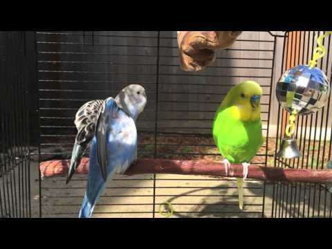 new budgie friends try to bond, are super awkward, finally feed each other