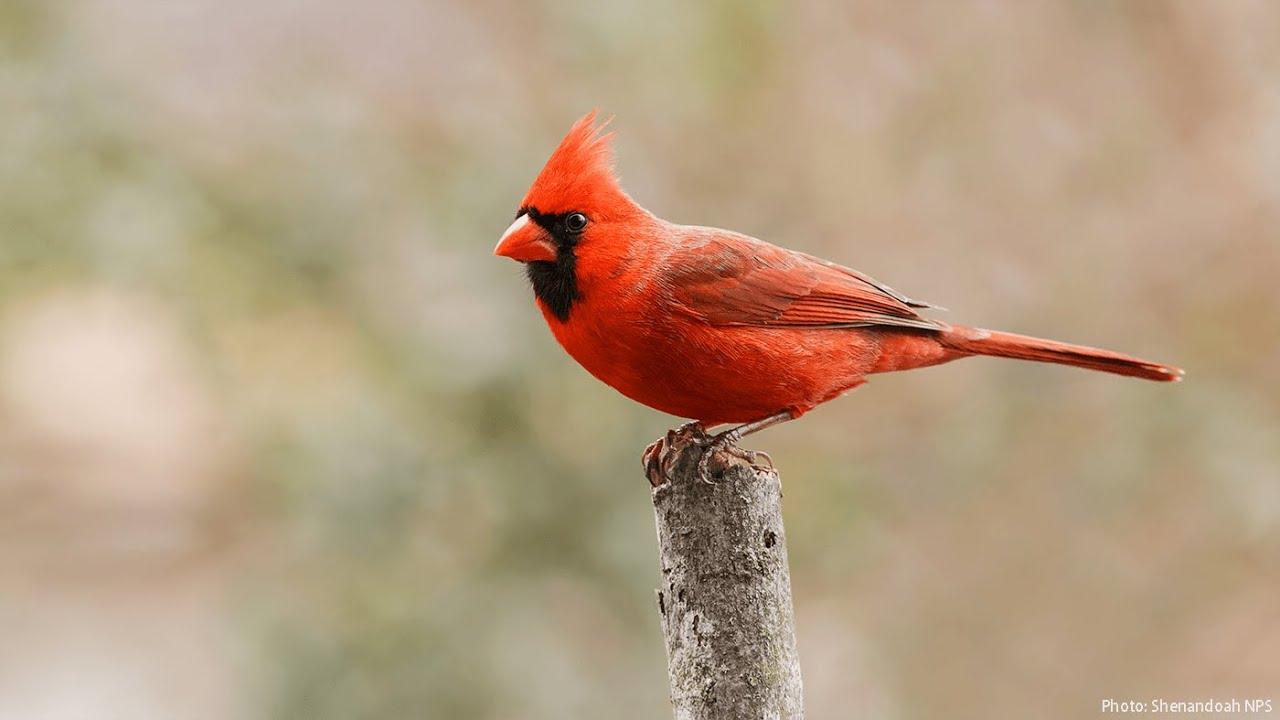 How to ID: Northern Cardinal