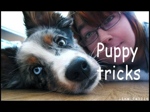 Australian shepherd puppy Loke (Lp1 Rld N Kalote's Spark) doing some tricks. Clicker training