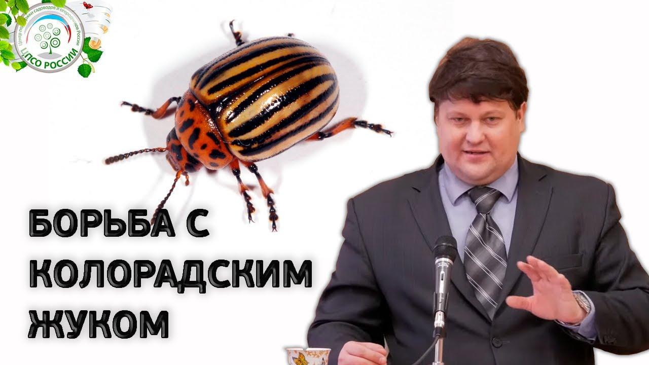 КОЛОРАДСКИЙ ЖУК. Средство от колорадского жука.