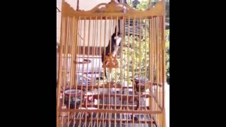 Repeat youtube video นกกรงหัวจุกเวียดนามใต้