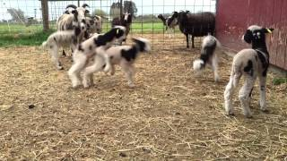 Baby Lamb Games