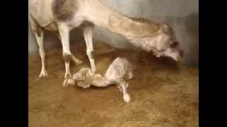 Birth of a dromedary