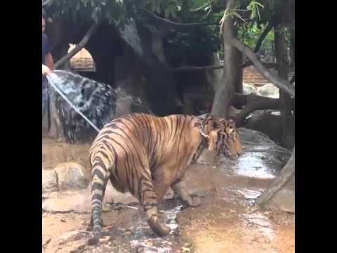 Tigris fürdetés