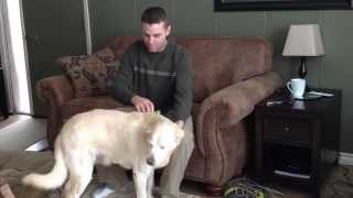 How To Groom a Yellow Lab video by GranPaws