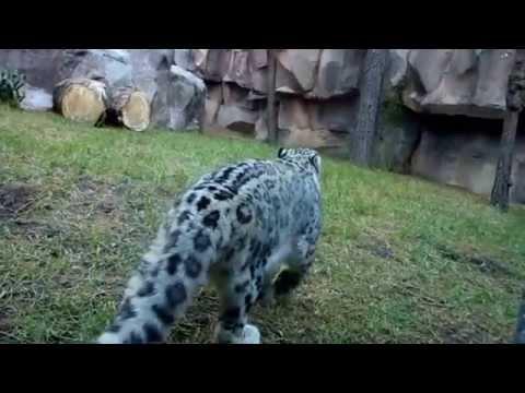 Leopardo de las Nieves / Snow Leopard  Zoo Chapultepec