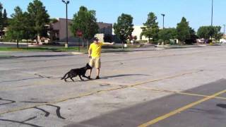 Rascal Dutch Shepherd Obedience Training Oklahoma