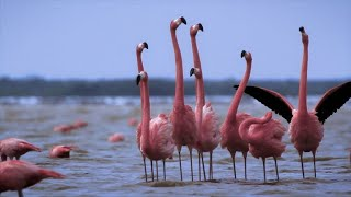 Flamingos Have Their Own Version of a Daycare Center (4K)