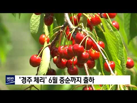 '경주 체리'6월 중순까지 출하[포항MBC뉴스]