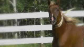 FTA's Aneesah, 2010 Straight Egyptian Filly Thumbnail
