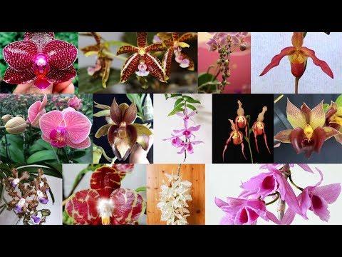 ОРХИДЕЯ НАЗВАНИЕ где и как определить СОРТ, название и РОДОСЛОВНУЮ орхидей фаленопсисов