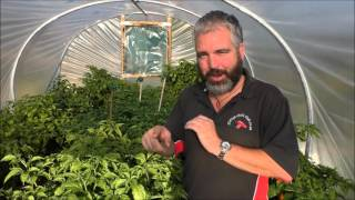 Chilli Polytunnel Update October 2015