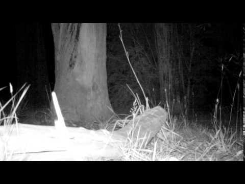 Boobook Owl call