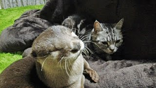 Aty is apologizing to Mr.Cat, then Aty gets pouty [Otter life Day 178] アティ、にゃん先輩に謝る。そしていじける。