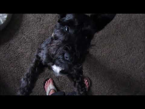 Everything's A Toy | Dog Mom Life | Schnauzer Mom