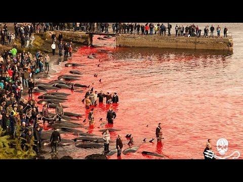 Una salvaje cacería de ballenas tiñó de rojo el océano Atlántico