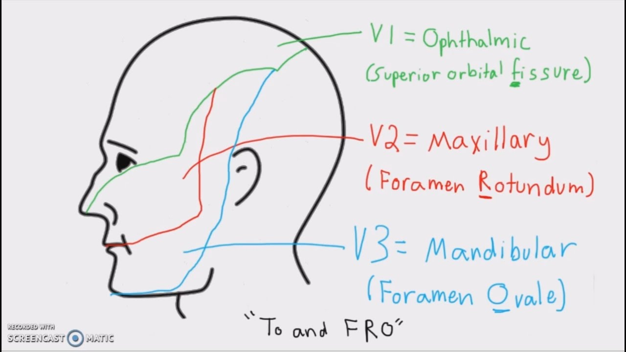 Anatomy Cranial Nerves And Their Sensory Distribution Youtube
