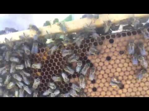 essaim d'abeilles devenu grand - youtube